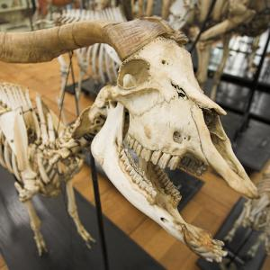 Découverte du musée Fragonard de l'Ecole nationale vétérinaire de Maisons-Alfort