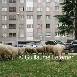 Transhumance de brebis, du parc de la Courneuve à Villetaneuse
