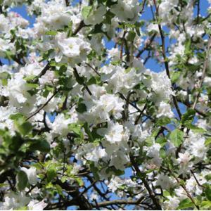 Tégéval - Initiation à la greffe d'arbres fruitiers