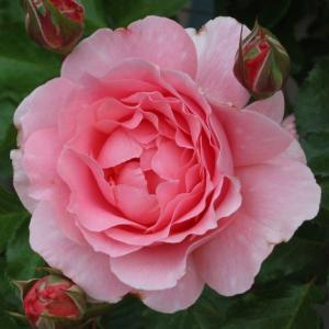 Roseraie Honoré Daumier