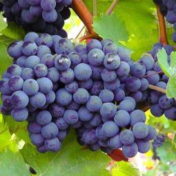 Balade - dégustation : le Plateau et les Vignes du Côteau à Champigny
