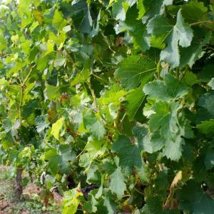 Balade - dégustation : le Plateau et les Vignes du Coteau à Champigny