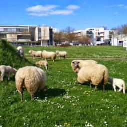 Sheep transhumance : from Villetaneuse to parc de la Courneuve