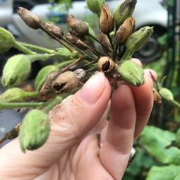 Reconnaître, récolter et semer des graines de rue - Conférence virtuelle