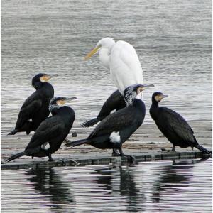 Grande Aigrette et Grands Cormorans nuptiaux (Photo Jean-Luc Kleis)