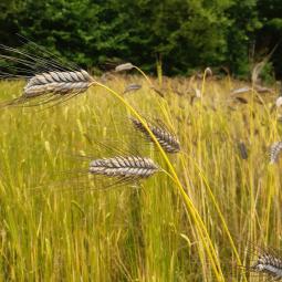À la découverte des agricultures anciennes à l'archéosite de la Haute-Ile