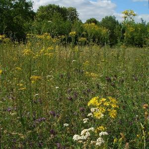 Les fleurs sauvages du Bois de Vincennes