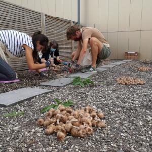 Plantez du safran à Créteil !